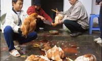 Vogelgrippe breitet sich in Vietnam aus