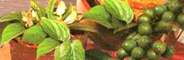 die Arekapalme und die Betelpflanze